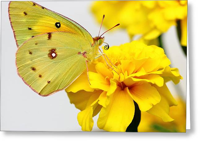 Biology Greeting Cards - Golden Delight Greeting Card by Brian Manfra