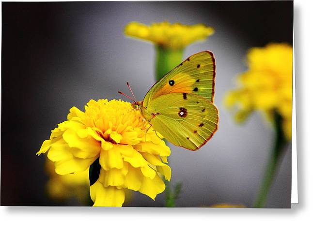 Invertebrates Greeting Cards - Aureolin Greeting Card by Brian Manfra