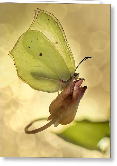 Biology Greeting Cards - Yellow butterfly on a dry flower Greeting Card by Jaroslaw Blaminsky