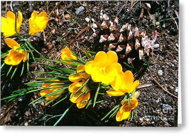 Pine Cones Greeting Cards - Yellow Crocus and Pine Cone Greeting Card by Thomas R Fletcher