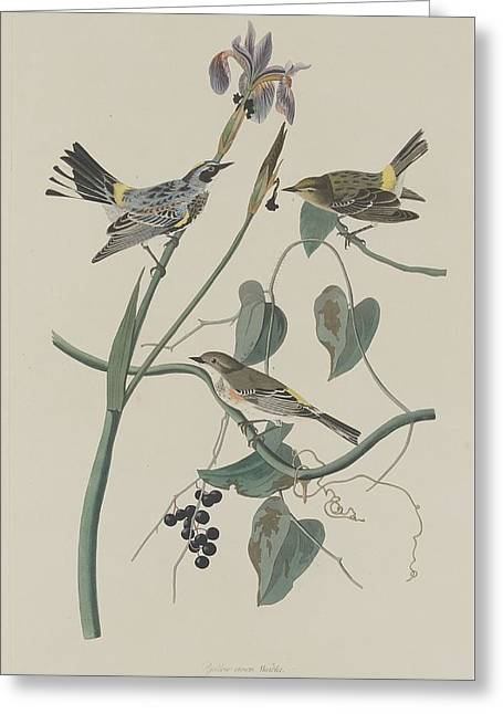 Yellow-crown Warbler Greeting Card by John James Audubon