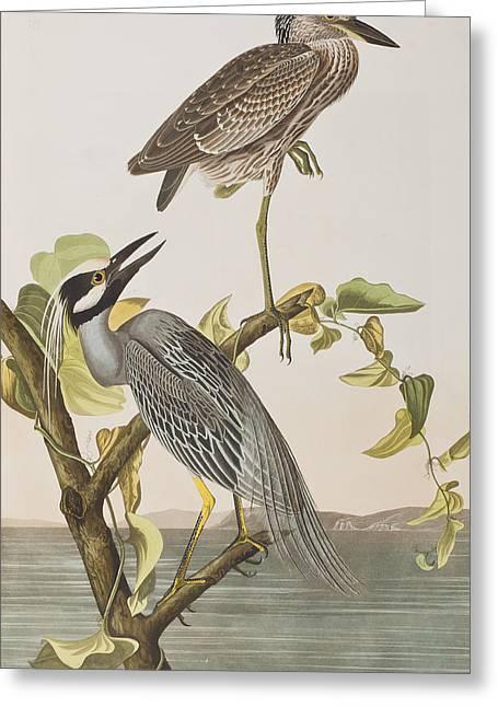 Yellow Crowned Heron Greeting Card by John James Audubon