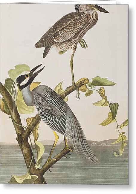 Birds Of A Feather Greeting Cards - Yellow Crowned Heron Greeting Card by John James Audubon
