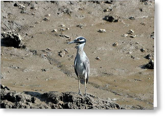 Yellow-crowned Night Heron Greeting Cards - Yellow-crowned Night-heron Greeting Card by Al Powell Photography USA
