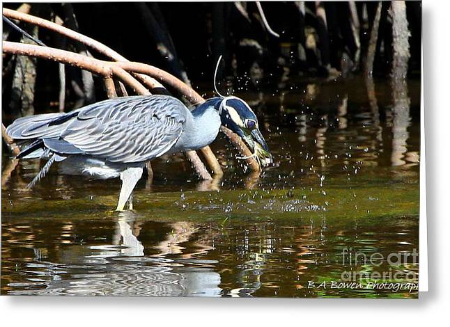 Birdwatching. B A Bowen Photography Greeting Cards - Yellow Crowned Night Heron catches a Crab Greeting Card by Barbara Bowen