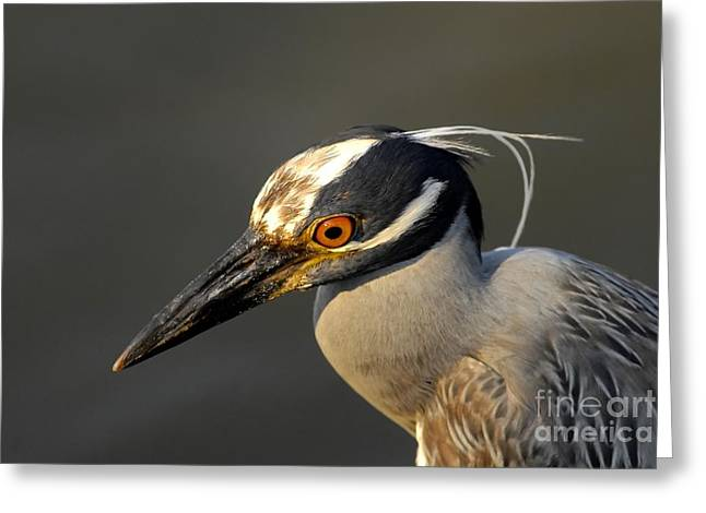 Yellow-crowned Night Heron Greeting Cards - Yellow Crowned Night Heron Greeting Card by David Lee Thompson