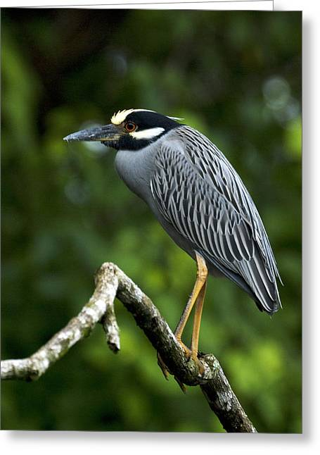 Yellow-crowned Night Heron Greeting Cards - Yellow-Crowned Night Heron Greeting Card by JP Lawrence
