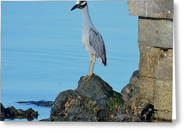 Water Bird Greeting Cards - Yellow Crowned Night Heron Rocking It Out Greeting Card by Patricia Twardzik