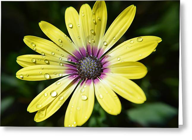 Petals With Droplets Greeting Cards - Yellow Daisy Greeting Card by Aimee L Maher Photography and Art
