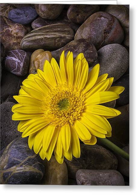 Yellow Daisy On River Stones Greeting Card by Garry Gay