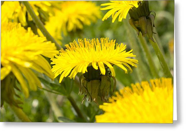 Faa Exclusive Greeting Cards - Yellow Dandelion Greeting Card by Irina Effa