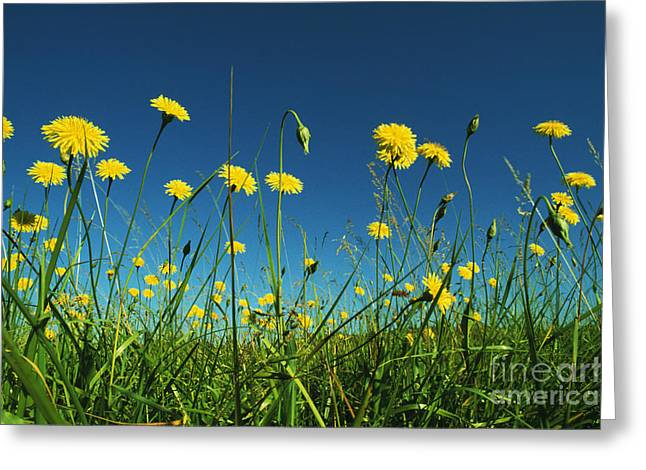 Colorful Dandelions Greeting Cards - Yellow Dandelions Greeting Card by Greg Vaughn - Printscapes