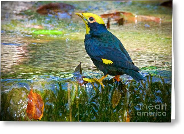 Wild Birds Greeting Cards - Yellow Faced Mynah Greeting Card by Judy Kay
