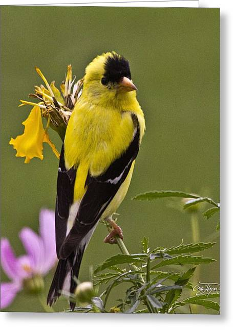 Cris Hayes Greeting Cards - Yellow Finch - Color Impact - Artist Cris Hayes Greeting Card by Cris Hayes