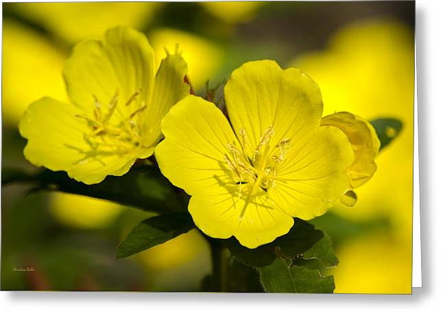 Yellow Flowers - Evening Primrose Greeting Card by Christina Rollo