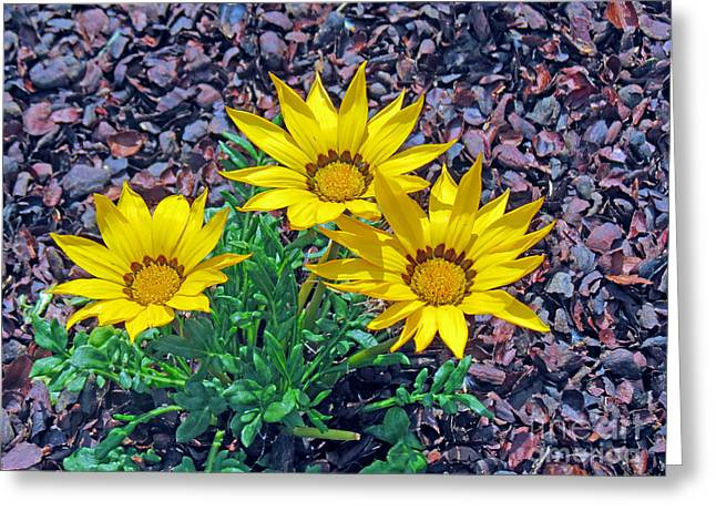 Close Focus Floral Greeting Cards - Yellow Gazania Flowers Greeting Card by Kay Novy