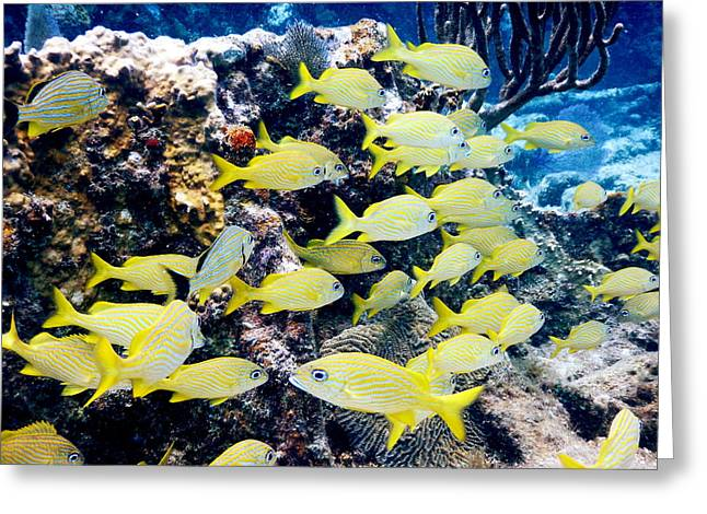 Grunts Greeting Cards - Yellow Grunt Fish Caribbean Reef Greeting Card by Roupen  Baker