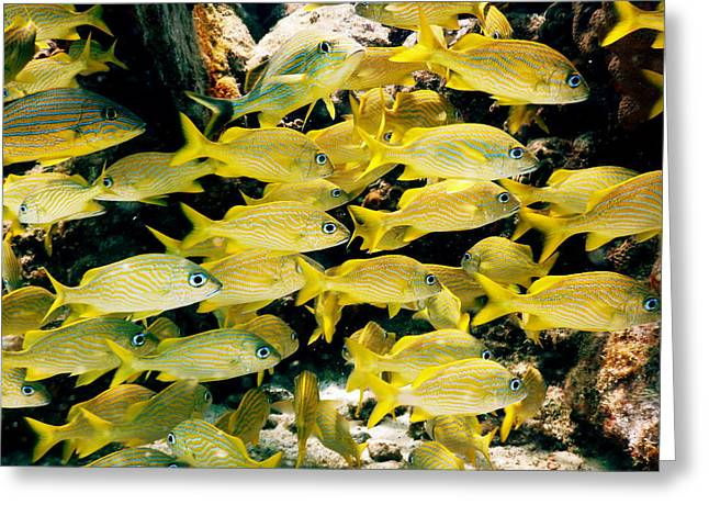 Grunts Greeting Cards - Yellow Grunts Caribbean Reef Fish Greeting Card by Roupen  Baker