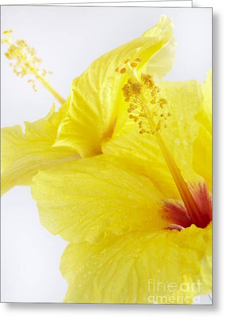 Overexposed Greeting Cards - Yellow Hibiscus on White Greeting Card by Kyle Rothenborg - Printscapes