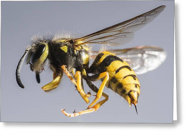 Wasps Greeting Cards - Yellow Jacket Greeting Card by Noah Bryant