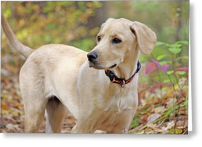 Yellow Lab Mix In Fall Greeting Card by Sue Feldberg