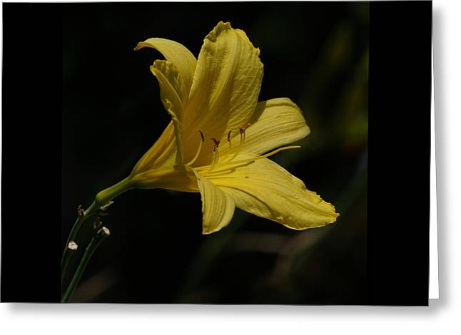 Lily Stamen Greeting Cards - Yellow Lily Greeting Card by Ernie Echols
