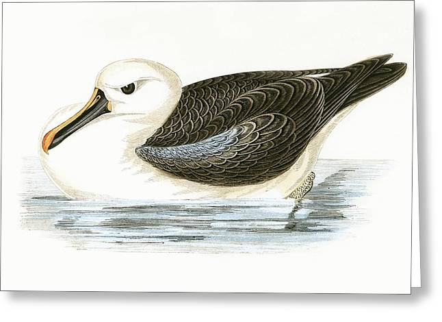 Yellow Nosed Albatross Greeting Card by English School