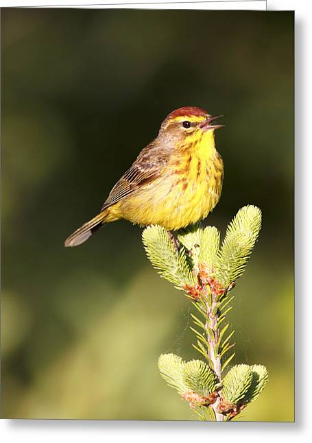 Wildlife Celebration Greeting Cards - Yellow Palm Warbler Singing Greeting Card by Birds Only