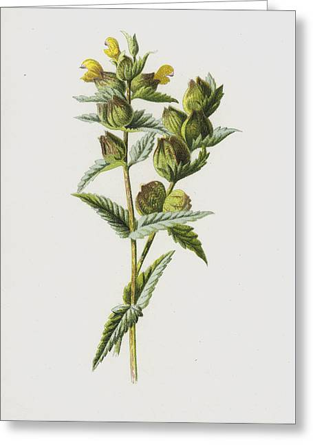Yellow Rattle Greeting Card by Frederick Edward Hulme
