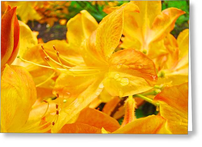Rhodies Greeting Cards - Yellow Rhodies art prints Rhododendron Garden Baslee Troutman Greeting Card by Baslee Troutman