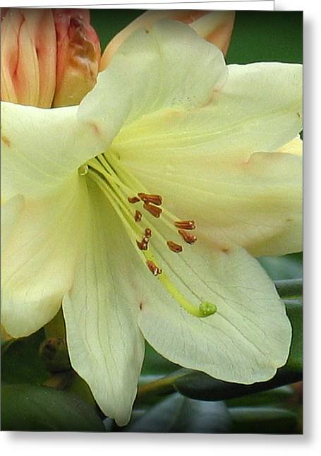 Floral Photographs Greeting Cards - Yellow Rhododendren Greeting Card by Mg Rhoades