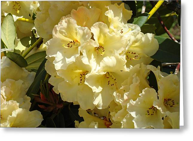 Rhodie Greeting Cards - Yellow Rhododendrons Flower Garden art prints Floral Baslee Troutman Greeting Card by Baslee Troutman
