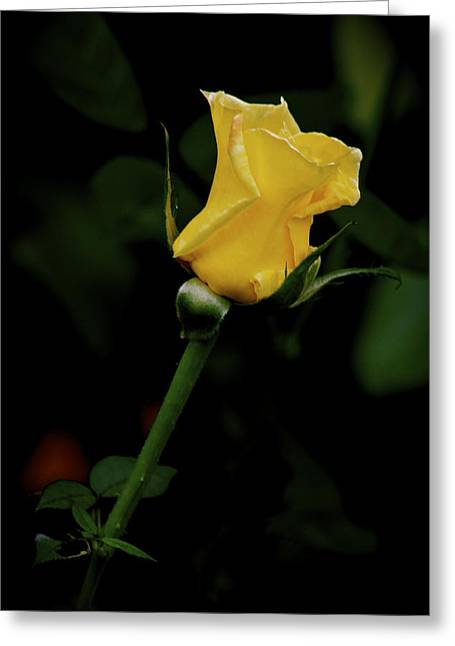 Wishes Greeting Cards - Yellow Rose Greeting Card by Carol Mallillin-Tsiatsios