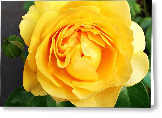 Decor Photography Greeting Cards - Yellow Rose Greeting Card by Cathie Tyler