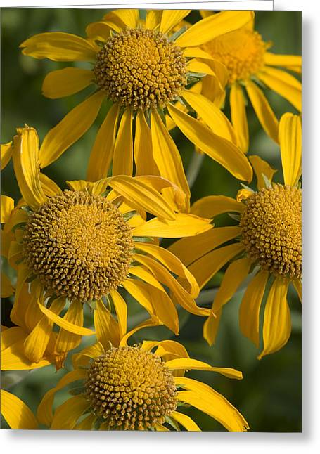 Yellow Sneezeweed, Helenium Autumnale Greeting Card by Shelley Dennis