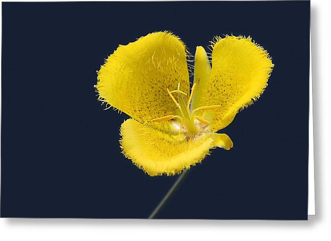 Graphics Art Greeting Cards - Yellow Star Tulip - Calochortus monophyllus Greeting Card by Christine Till