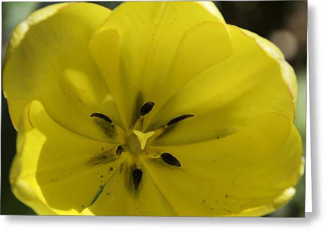 Spring Bulbs Greeting Cards - Yellow Tulip Center Squared Greeting Card by Teresa Mucha