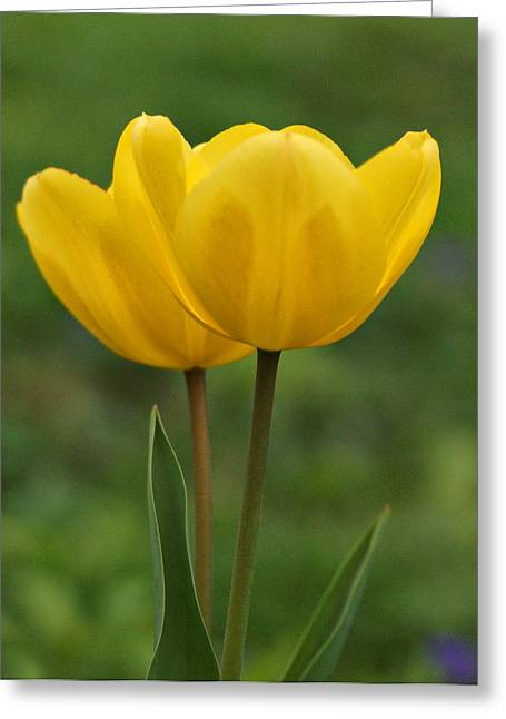Yellow Tulips Greeting Card by Sandy Keeton