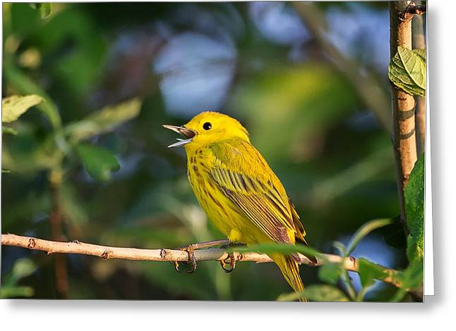 Yellow Warbler Greeting Cards - Yellow Warbler Calling Greeting Card by Bill Wakeley