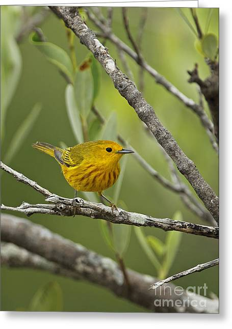 Setophaga Greeting Cards - Yellow Warbler In Cuba Greeting Card by Neil Bowman/FLPA