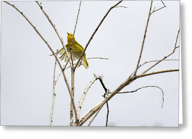 Yellow Warbler In Flight Greeting Card by Dana Moyer