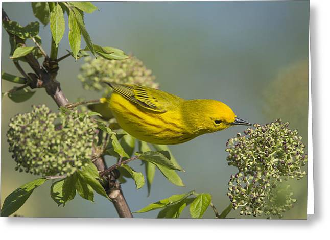 Wildlife Celebration Greeting Cards - Yellow Warbler Looking for Dinner Greeting Card by Birds Only