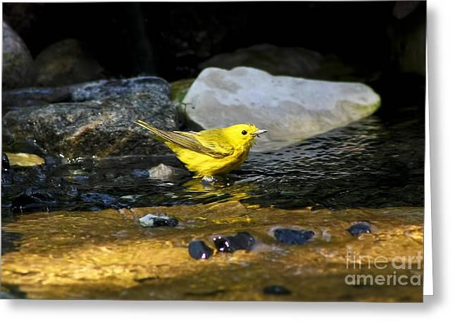 Yellow Warbler Greeting Cards - Yellow Warbler Greeting Card by Teresa Zieba