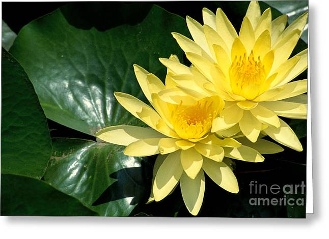 Waterlily Stamen Greeting Cards - Yellow Water Lilies Greeting Card by Bill Schildge - Printscapes