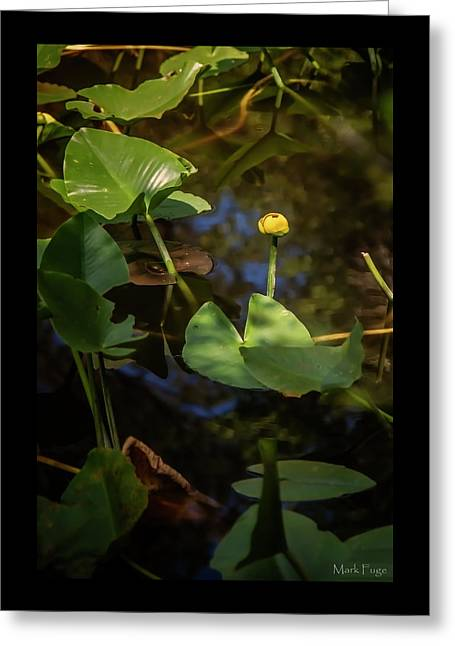 Yellow Water Lily Greeting Card by Mark Fuge