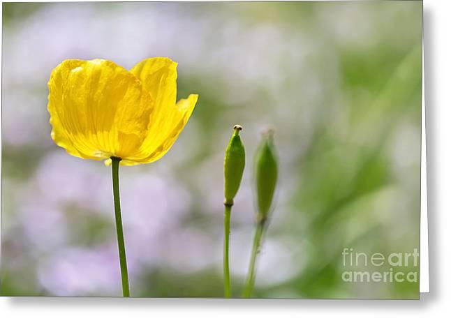 Yellow Welsh Poppy - Natalie Kinnear Photography Greeting Card by Natalie Kinnear