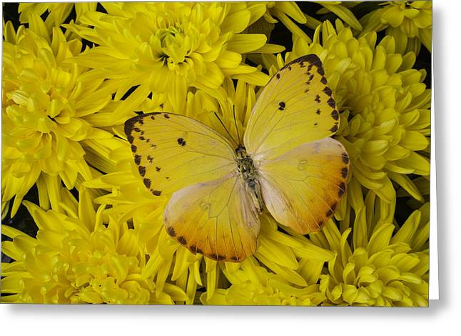 Gorgeous Greeting Cards - Yellow Wings On Yellow Mums Greeting Card by Garry Gay