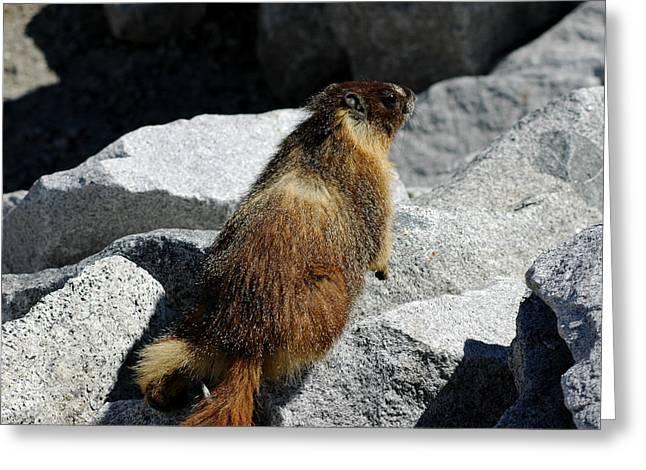 Travel Greeting Cards - Yellow Yosemite bellied marmot Greeting Card by LeeAnn McLaneGoetz McLaneGoetzStudioLLCcom