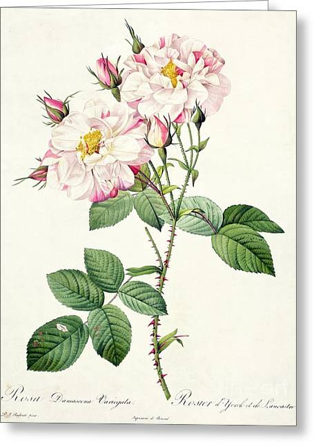 Coloured Greeting Cards - York and Lancaster Rose Greeting Card by Pierre Joseph Redoute
