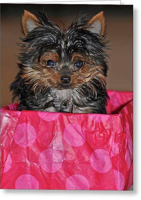 Toy Dog Greeting Cards - Yorkie Greeting Card by Peter  McIntosh